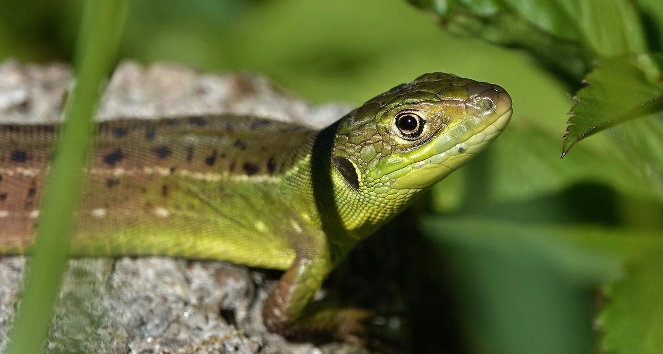 Westliche Smaragdeidechse | Lacerta Bilineata | Jungtier (Geschlüpft Im Vorjahr) | Mai 2021 (10)