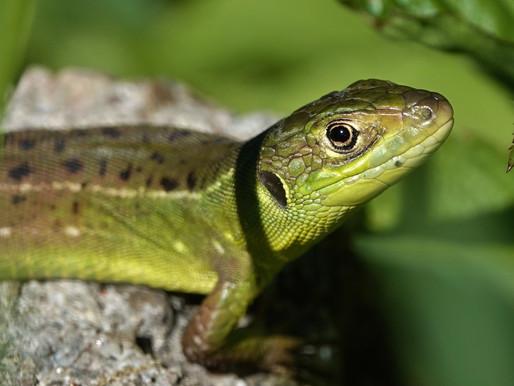Western Green Lizard Yoga