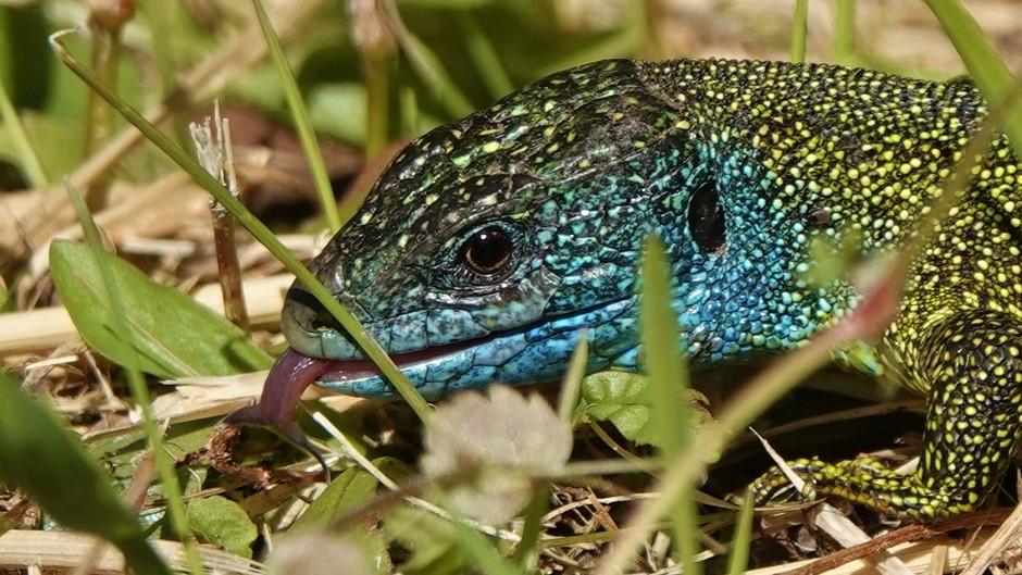 Western Green Lizard (Lacerta Bilineata): Daily Routine