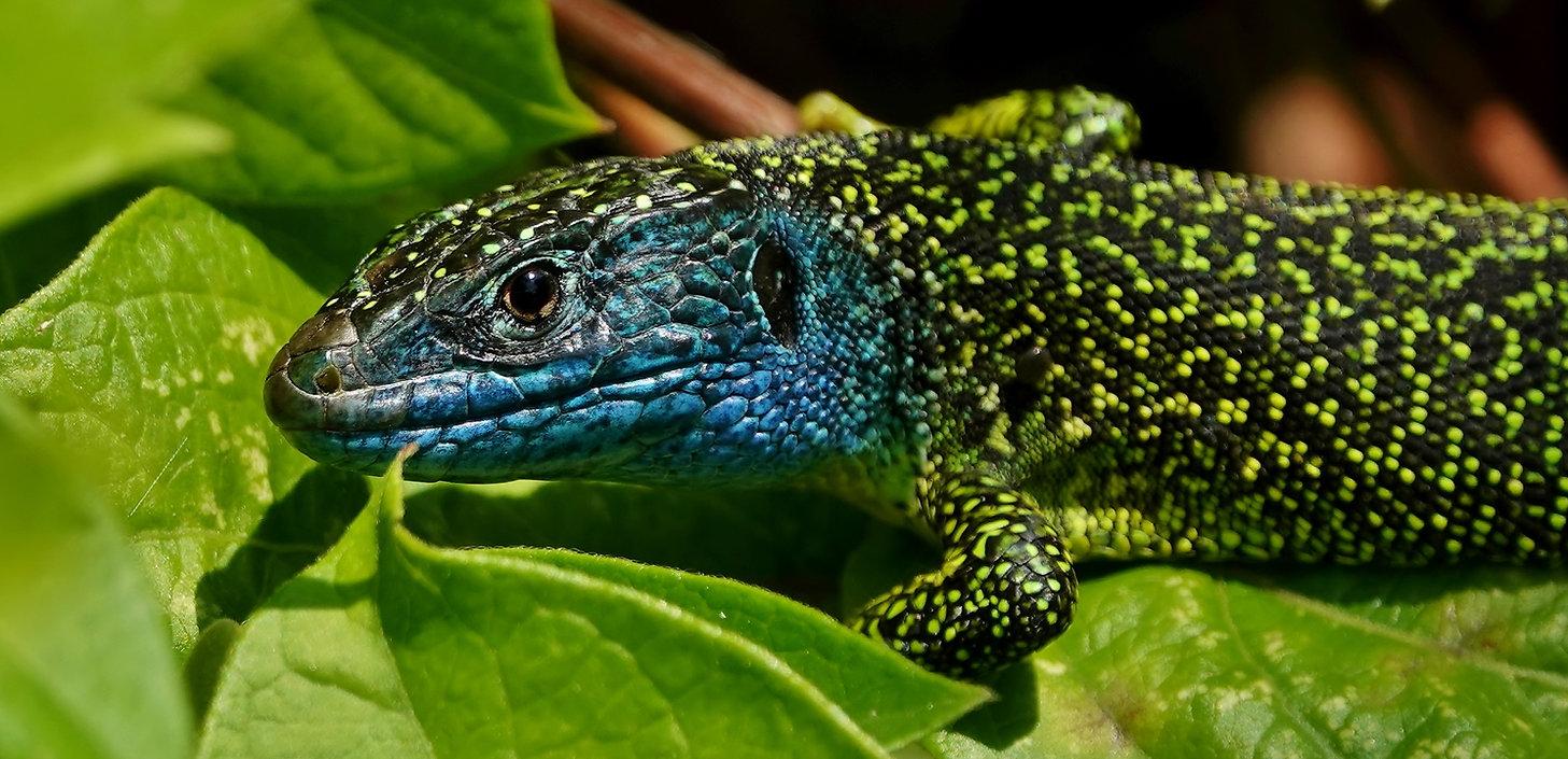 Western Green Lizard | Lacerta Bilineata | Adult Male | Monteggio (Ticino), Switzerland | May 2021