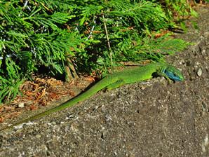 lagarto verde occidental (lacerta bilineata), macho adulto, Tesino, Suiza 2020
