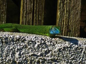 Lagarto verde occidental (lacerta bilineata) macho adulto, Tesino, Suiza 2015