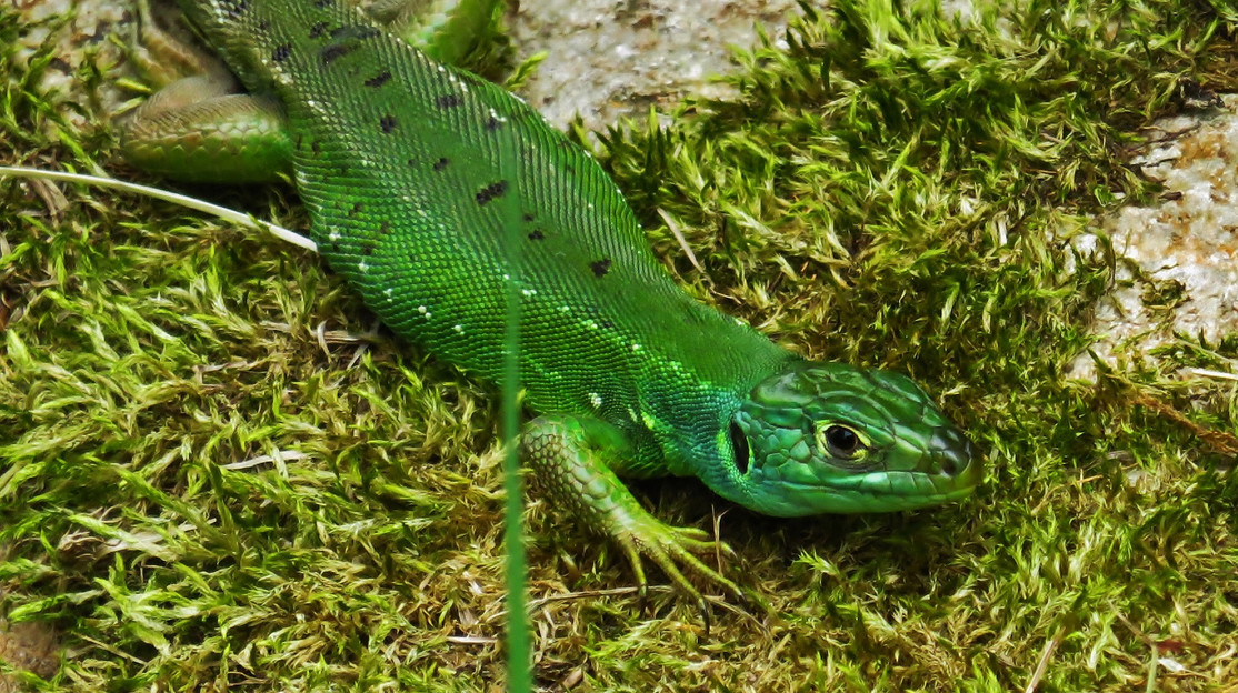 Western green lizard (lacerta bilineata), sub-adult female, Malcantone, Ticino, June 2015.jpg