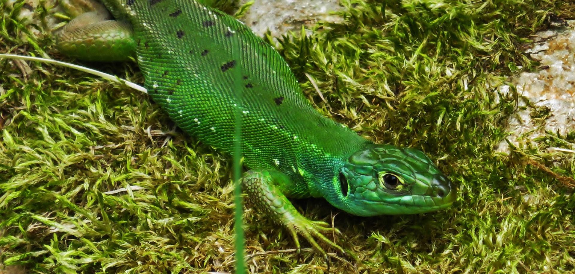 Western green lizard (lacerta bilineata), sub-adult female, Malcantone, Ticino, June 2015.jpg