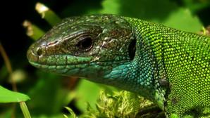 Western green lizard (lacerta bilineata), adult female, Malcantone, Ticino, Switzerland, June 2015