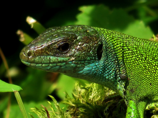 LACERTA BILINEATA ♀ Never leave the human out of sight...