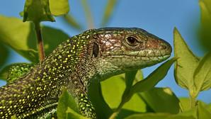 Westliche Smaragdeidechse | Lacerta Bilineata | Adultes Weibchen Auf Blättern der Roten Heckenkirsche | Mai 2021 | Tessin | Schweiz