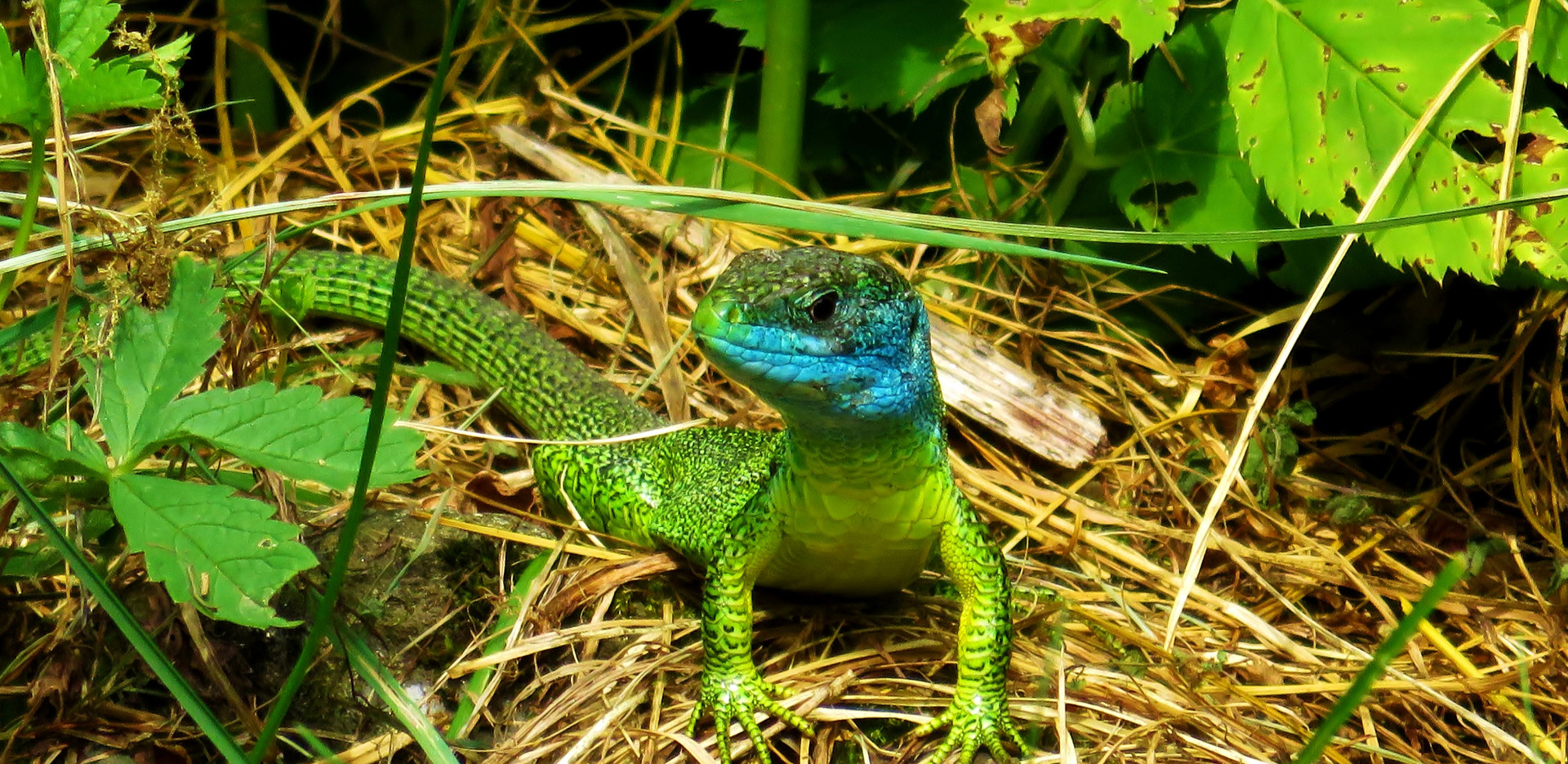 Western green lizard (lacerta bilineata), adult male, with blue facial colors typical for mating season, Malcantone, Ticino, May 2015.jpg