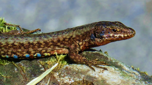 Common wall lizard (podarcis muralis) adult male during mating season, Malcantone, Ticino, Switzerland, May 2020