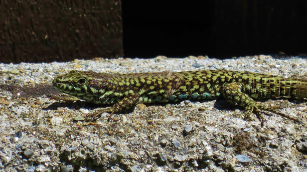 Common wall lizard (podarcis muralis) adult male during mating season, Malcantone, Ticino, May 2020