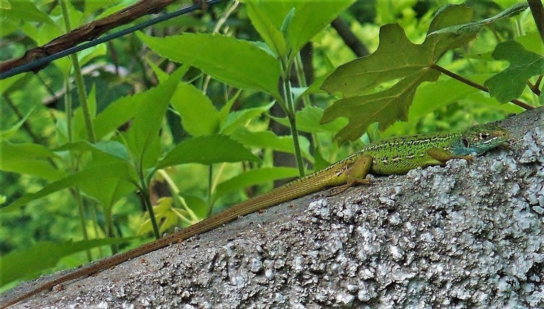 Westliche Smaragdeidechse (lacerta bilineata), sub-adultes Weibchen mit für die Art bei adoleszenten Tieren typischen hellen Flankenlinien, Juni 2011, Malcantone, Tessin
