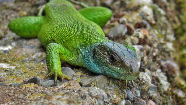 Western green lizard (lacerta bilineata)