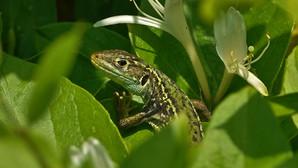 Westliche Smaragdeidechse | Lacerta Bilineata | Subadultes Weibchen Zwischen Blüten Der Roten Heckenkirsche | Mai 2021 | Monteggio (Tessin, Schweiz)
