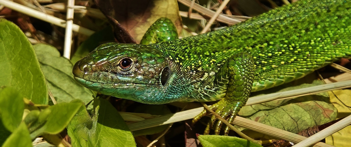 Western Green Lizard | Lacerta Bilineata | Adult Female | Monteggio (Malcantone, Ticino), Switzerland | May 2021