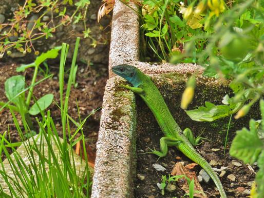 LACERTA BILINEATA ♀ Gemüsebeet mit Aussicht erwünscht...