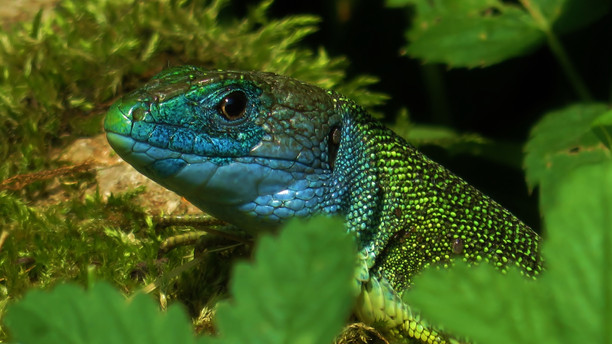 Lagarto verde occidental (lacerta bilineata), macho adulto, garganta azul, Tesino, Suiza 2015