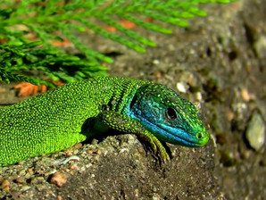 Lagarto verde occidental (lacerta bilineata) macho adulto, Tesino, Suiza 2020