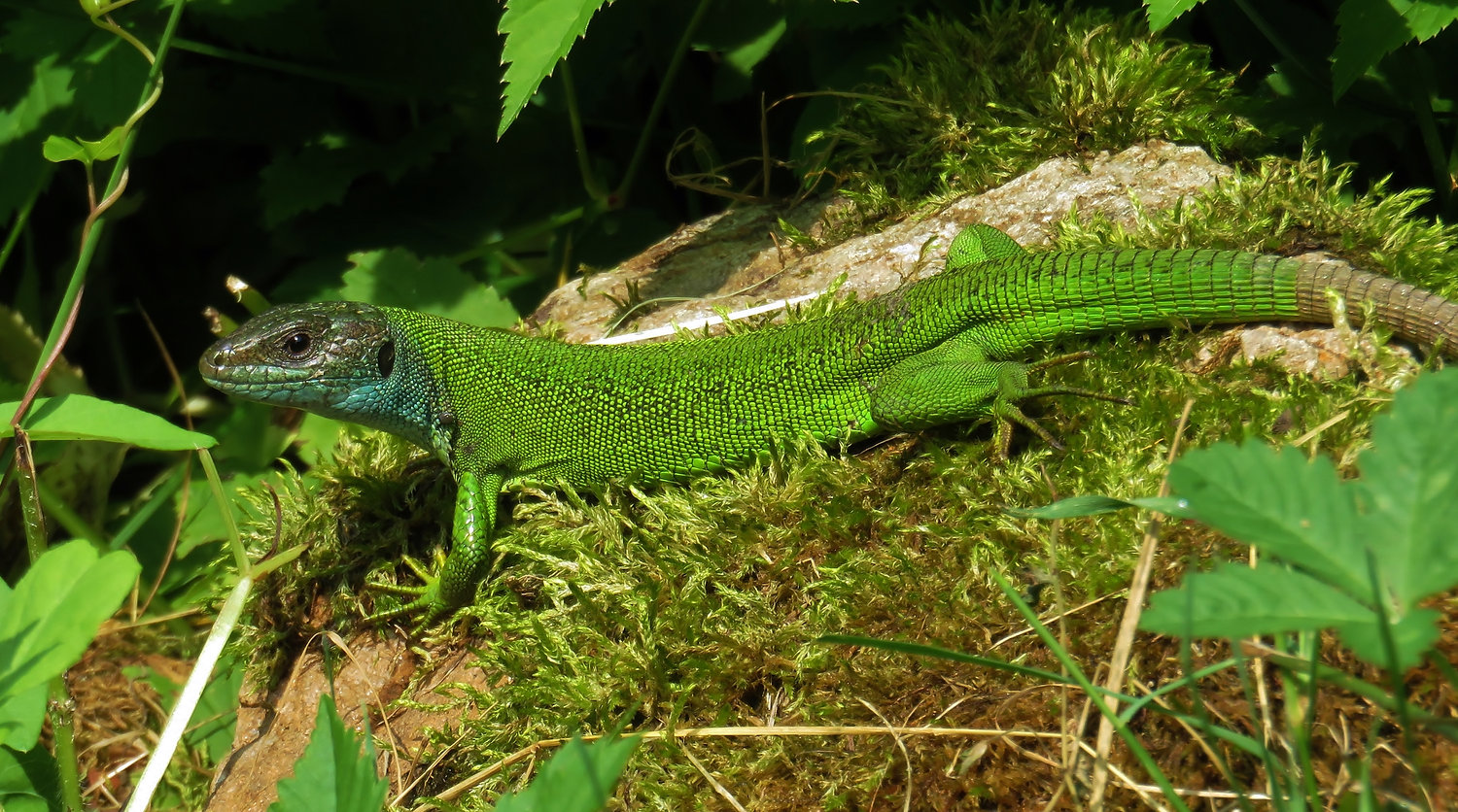 Western green lizard (lacerta bilineata) female, ticino 2015