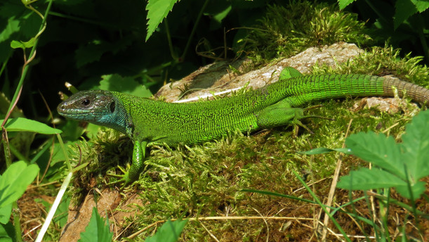 Lézard vert occidental (lacerta bilineata), femelle adulte, Malcantone, Tessin, Suisse, juin 2015