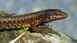 Mauereidechse (Podarcis Muralis), adultes Männchen, Malcantone, Tessin, Schweiz, Mai 2020