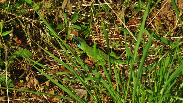 Western green lizard (lacerta bilineata), adult male hiding in grass, Monteggio, Malcantone, Ticino, May 2020