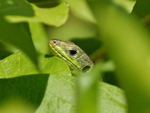 Western Green Lizard Bush Babies