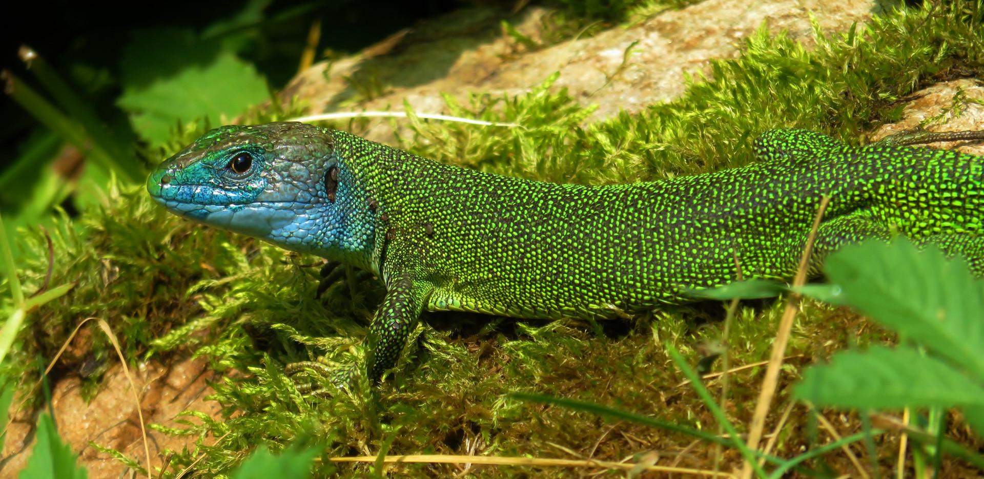 western green lizard (lacerta bilineata), adult male, Ticino, June 2015.jpg