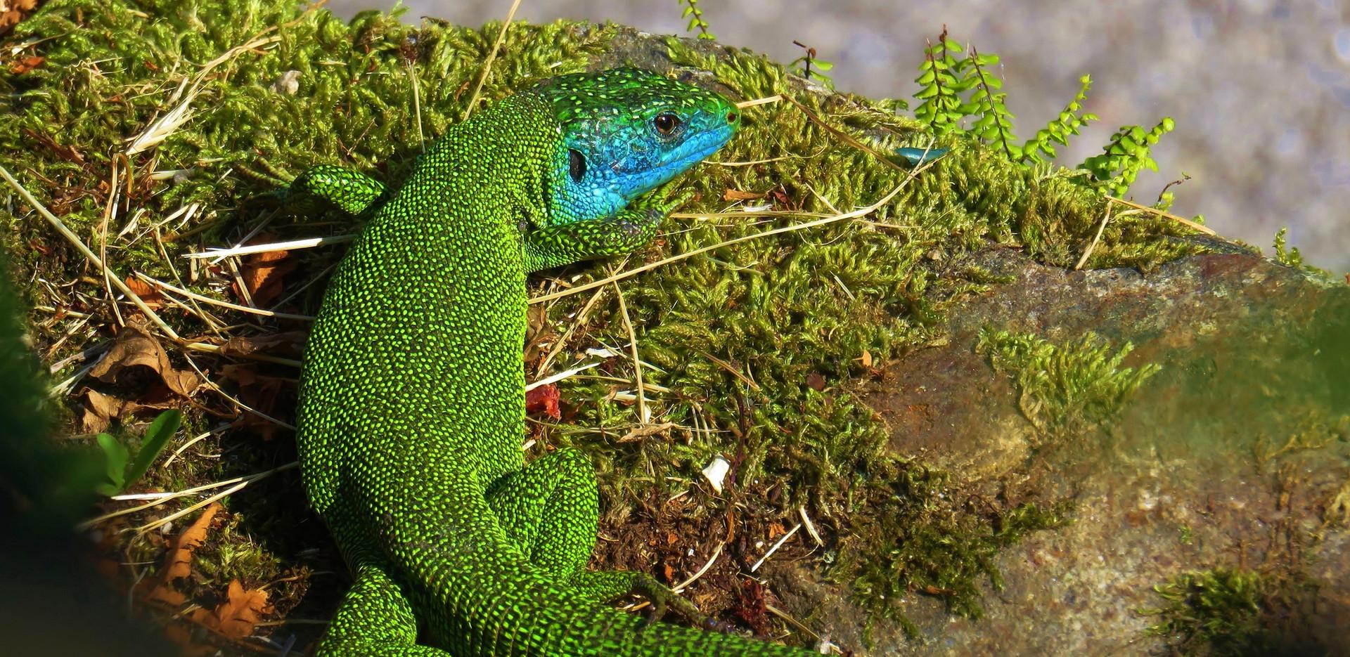 Lézard vert (lacerta bilineata), mâle adulte, Malcantone, Tessin, mai 2020.jpg