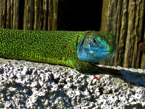 Lagarto verde occidental (lacerta bilineata) macho adulto, Tesino, Suiza 2015
