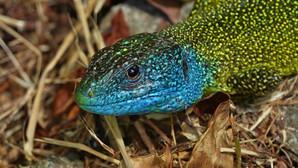 Westliche Smaragdeidechse | Lacerta Bilineata | Adultes Männchen Im Heu | Mai 2021