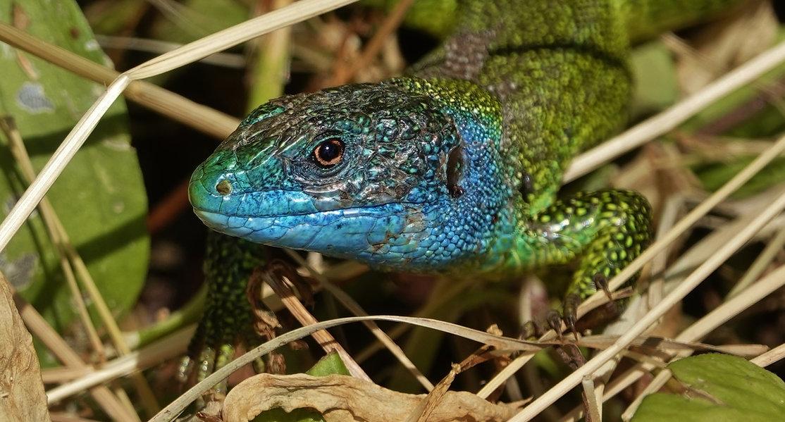 Western Green Lizard   Lacerta Bilineata   Adult Male During Mating Season   Spring 2021