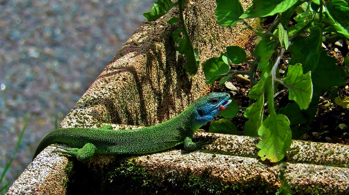 Lézard vert (lacerta bilineata), femelle adulte, Malcantone, Tessin 2016.jpg