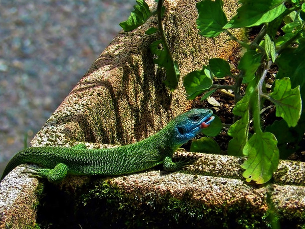 Lagarto verde occidental (lacerta bilineata), hembra adulta, Tesino, Suiza 2016