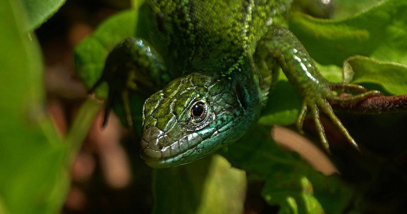 Westliche Smaragdeidechse | Lacerta Bilineata | Adultes Weibchen In Roter Heckenkirsche | Mai 2021 (8)