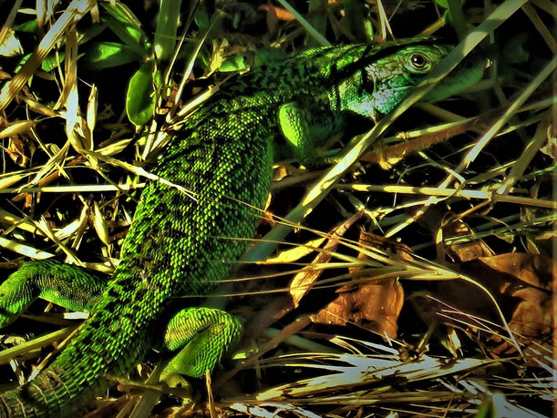 Lagarto verde occidental (lacerta bilineata), hembra adulta, Tesino, Suiza 2020