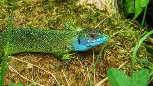 Western green lizard (lacerta bilineata), adult male, with blue facial colors typical for mating season, Malcantone, Ticino, Switzerland, May 2015