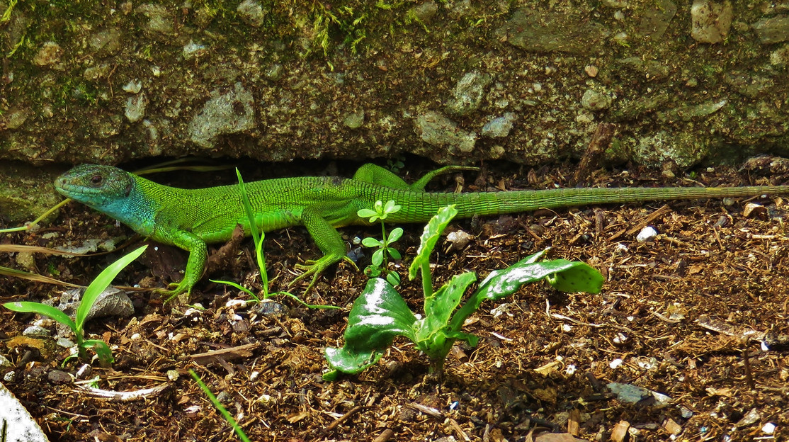 Western green lizard (lacerta bilineata), adult female, Monteggio, Malcantone, Ticino, June 2016.jpg