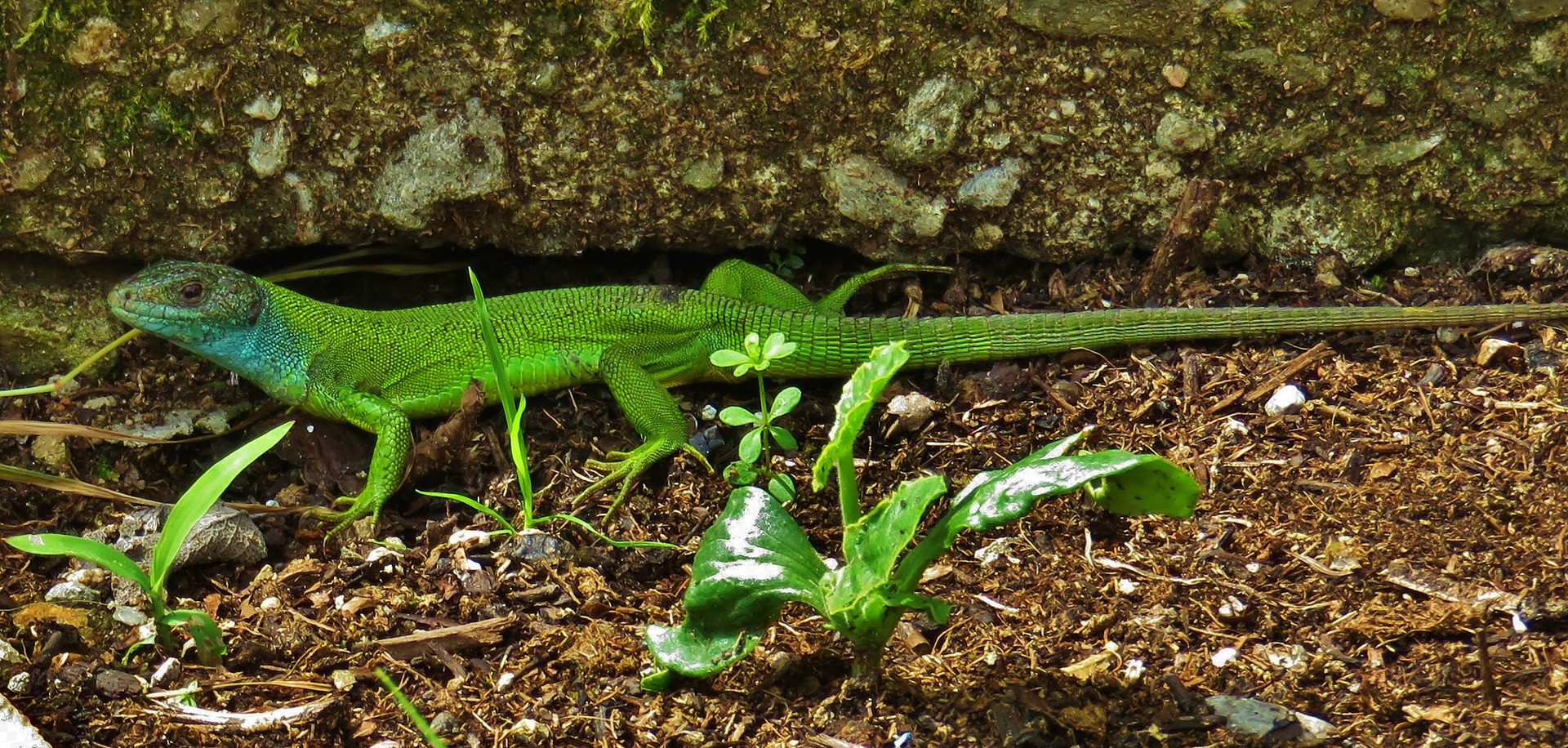 Western green lizard (lacerta bilineata), adult female, Monteggio, Malcantone, Ticino, June 2016.jpg