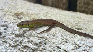 Western green lizard (lacerta bilineata), juvenile, Malcantone, Ticino, Switzerland, June 2014