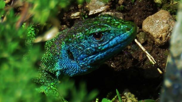 Western green lizard (lacerta bilineata), adult male, blue facial colors typical for mating season, Malcantone, Ticino, June 2016