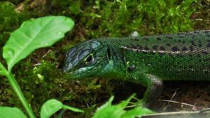 Western green lizard (lacerta bilineata), adult female, rare variation with dark green colors, Malcantone, Ticino, Switzerland, June 2015