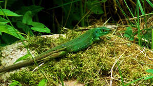 Western green lizard (lacerta bilineata) sub-adult female, Monteggio, Malcantone, Ticino, June 2015.