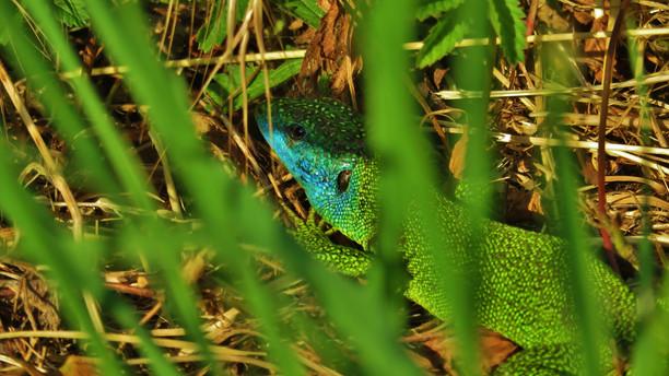 Western green lizard (lacerta bilineata), adult male hiding in grass, Monteggio, Malcantone, Ticino, May 2020