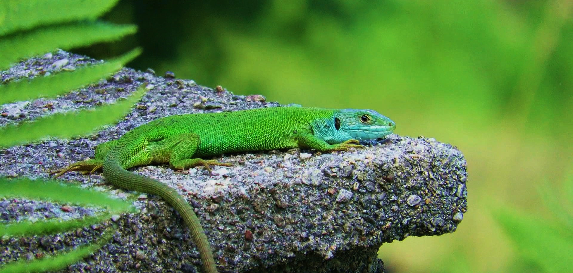 Western green lizard (lacerta bilineata), adult female, Malcantone, Ticino, June 2016.jpg