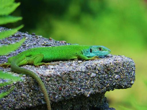 LACERTA BILINEATA ♀ Like a green jewel on a grey rock...