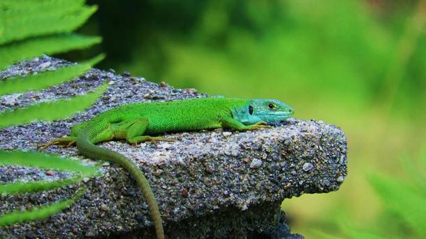Western green lizard (lacerta bilineata), adult female, Malcantone, Ticino, Switzerland, June 2016