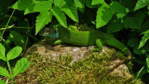 Westliche Smaragdeidechse (Lacerta Bilineata), adultes Weibchen, Malcantone, Tessin, Schweiz, Juni 2015