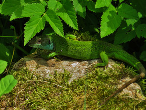 Lagarto verde occidental (lacerta bilineata), hembra adulta, Tesino, Suiza 2015