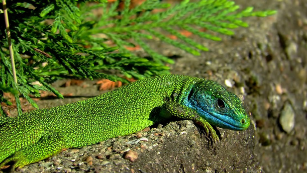 Adult male western green lizard (lacerta bilineata) with typical color patterns for mating season, photographed in Monteggio, Malcantone, Ticino, Switzerland 2020