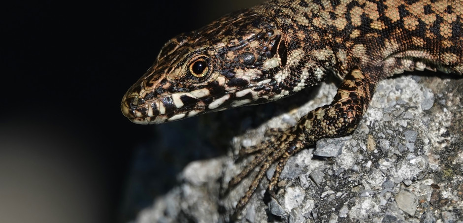 Common Wall Lizard - Close Up